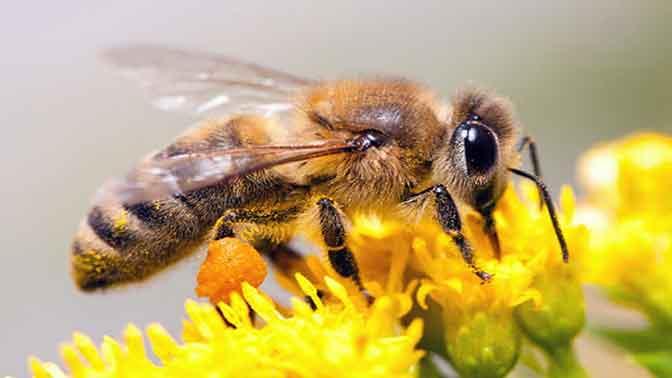 زنبور تراپی
