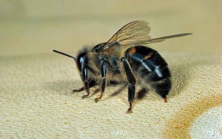 درمان با نیش زنبور