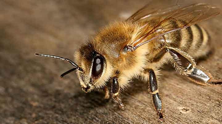 فواید زنبور درمانی